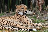 Постер, плакат: Cheetah lounging in the shade