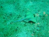 stock photo of stingray  - Blue spotted stingray photo took underwater off Manado island Indonesia - JPG
