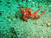 pic of hairy  - Hairy Scorpionfish photo took underwater off Manado island Indonesia  - JPG
