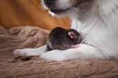 foto of rats  - studio portrait of a brown domestic rat and dog - JPG