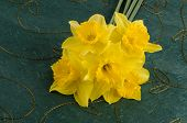 image of jonquils  - Closeup of yellow jonquil flowers on green background - JPG