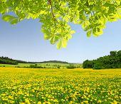 foto of dandelion  - Spring landscape with dandelions on meadow and chestnut tree - JPG