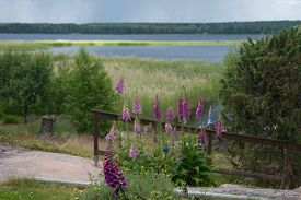 stock photo of digitalis  - Foxglove common foxglove purple foxglove or Digitalis purpurea flower macro with lake view around Midsummer Varmland Sweden. ** Note: Shallow depth of field - JPG