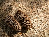 picture of pine-needle  - Two pine cones resting on forest floor on top of fir needles - JPG