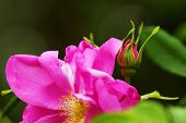 pic of climbing roses  - Beautiful pink roses in a botanical garden - JPG