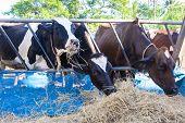 foto of cow  - cows in a farm Dairy cows eating in a farm location Thailand - JPG