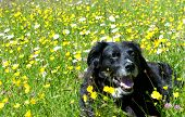 pic of buttercup  - Happy dog lying on a meadow with buttercups  - JPG