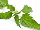 image of nettle  - Single nettle leaf - JPG