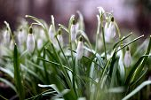 foto of early spring  - delicate snowdrops in early spring in the early morning - JPG