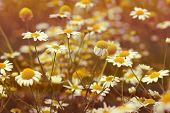 image of daisy flower  - Beautiful chamomile flower  - JPG