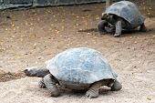 pic of tortoise  - Two giant tortoises on Isabela Island in the Galapagos Islands in Ecuador - JPG