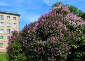 Постер, плакат: Landscape Spring In The City Lilac Bush