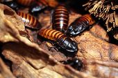 stock photo of cockroach  - Madagascar hissing cockroach  - JPG