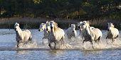 picture of wild horse running  - Herd of White Horses Running and splashing through water - JPG