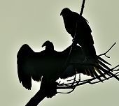 stock photo of aura  - Silhouettes of the Turkey Vulture  - JPG