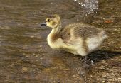 picture of canada goose  - Young Canada Goose entering pond on own - JPG
