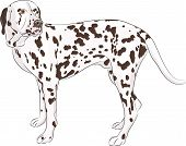 foto of spotted dog  - Large dog breed Dalmatian isolated on a white background - JPG