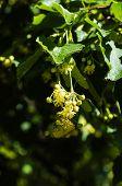image of linden-tree  - Linden tree in bloom spring time garden - JPG
