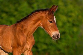 picture of colt  - Bay newborn colt portrait  outdoor against green background - JPG