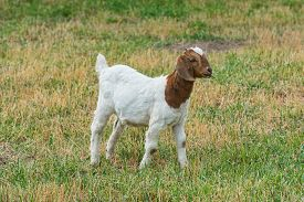 stock photo of baby goat  - Baby goat in a field of grass - JPG