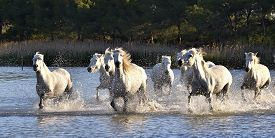 picture of hackney  - Herd of White Horses Running and splashing through water - JPG