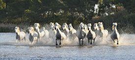 foto of hackney  - Herd of White Horses Running and splashing through water - JPG