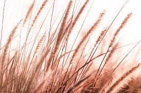 foto of pampa  - Pampas Grass in sunset, wind blowing, blur background ** Note: Shallow depth of field - JPG