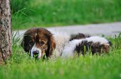 old sick dog lie and sleep on grass