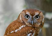 Screech Owl With An Intent Stare poster