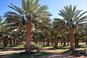 stock photo of semi-arid  - agricultural date palm farm in dry semi - JPG