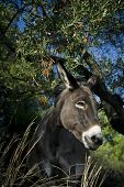 stock photo of jack-ass  - Donkey (Equus asinus) in a wooded glade with tree in background.