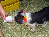 picture of pot bellied pig  - A pot bellied piggy waiting for adoption - JPG