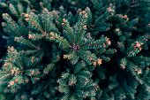 Branch Of Coniferous Tree, Detailed The Conifer Branch. poster