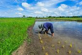 Thailand Rice Farmers Planting Season For Household Consumption And For Income Of The Family For A L poster