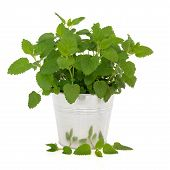 picture of citronella  - Lemon balm herb plant in an aluminum pot with leaf sprig isolated over white background - JPG