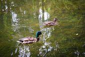Duck And Drake On The Lake In Tsarskoye Selo poster