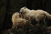 Arctic Wolf (canis Lupus Arctos), Three Wolfs Stay Against Themselves, Title Picture, Green Backgrou poster