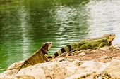 Green Iguanas Are A Large, Arboreal, Mostly Herbivorous Species Of Lizard. They Are Native To Centra poster