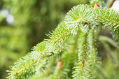 Pine Branch On Pine Tree. Pine Tree In Pine Forest. Wild Nature. Greenery. Park. Outdoor Photo. poster