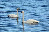 image of trumpeter swan  - A Pair of Trumpeter Swan  - JPG