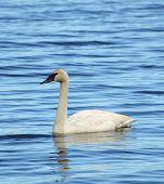 stock photo of trumpeter swan  - One Trumpeter Swan  - JPG