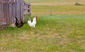 foto of chicken-wire  - A black hen chicken follows a white rooster in search of bugs on a free range farm - JPG