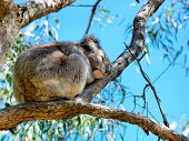 stock photo of koalas  - Australian koala Bear perched in a gum tree - JPG