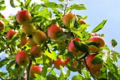 stock photo of apple tree  - Organic ripe apples ready to pick on tree branches - JPG