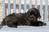Scottish Terrier Lazing On A Bench