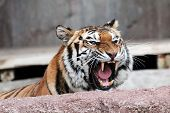 Siberian Tiger (panthera Tigris Altaica) Showing Teeth