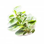 stock photo of origanum majorana  - Green fresh twig of oregano isolated on white - JPG