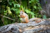 Squirrel eating nut in green forest