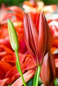 stock photo of asiatic lily  - red beautiful lily flower family in a garden