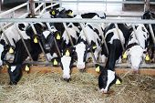 stock photo of feedlot  - Stall with many cute small calves eating fresh hay in large farm - JPG